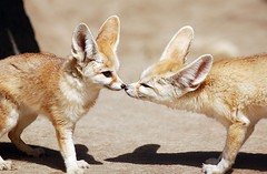 Fennex fox (floridapfe) Tags: two animal zoo nikon kiss korea fox fennec everland fennecfox