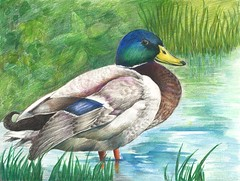 art illustration georgia ducks competition usfws usfishandwildlifeservice duckstamp juniorduckstamp