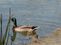 DSCN0901 (mifabi47) Tags: en de lago el girona pato nadando banyoles