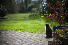(drfugo) Tags: flowers red brick green grass cat garden fur lucy spring maple bokeh patio acer daffodil canon5d helios44258mmf20 howmeanisthat shegavebirthtokittensonmybirthday butmymumgaveallbutoneawaydespitethembeingabirthdaygifttomefromthecat