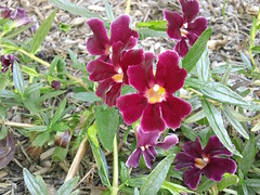 mimulus hybrid (flora-file) Tags: california plants garden tour gardening wildflowers horticulture natives bringingbackthenatives