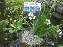 Arrowhead (Sagitaria latifolia) (flora-file) Tags: california plants garden tour gardening wildflowers horticulture natives bringingbackthenatives