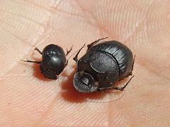 Scarabaeidae Dung Beetle DSCF88621 (Bill & Mark Bell) Tags: exmouth westernaustralia australia geo:town=exmouth geo:state=westernaustralia geo:country=australia geo:lon=11425453egeolat2217752sgeoalt8m 11425453e2217752salt8m taxonomy:kingdom=animalia animalia taxonomy:phylum=arthropoda arthropoda taxonomy:class=insecta insecta taxonomy:order=coleoptera coleoptera taxonomycommonnamedungbeetle dungbeetle insect scarabaeidae taxonomy:family=scarabaeidae taxonomy:genus=digitonthophagus digitonthophagus animal fauna beetle