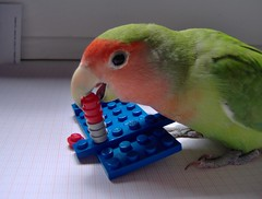 I LOVE LEGO (MattiaMc) Tags: italy pet animal parrot nome lovebird playful pappagallo animale divertente agapornis roseicollis imola inseparabile giocoso cippi
