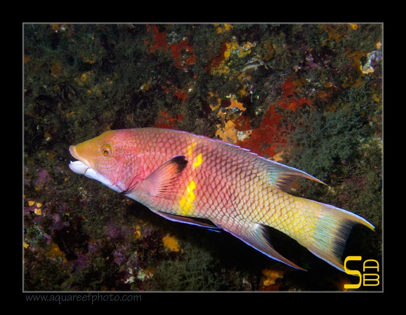The World 39 S Most Recently Posted Photos Of Bodianus