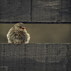 chirpy chirpy cheep cheep (Black Cat Photos) Tags: uk england baby bird nature canon blackcat garden photography parents photo europe wildlife feathers dunnock m demanding noisy fledgling cheep chirpy fledge chirpychirpycheepcheep blackcatphotos