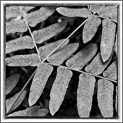 Knigsfarn (efgepe) Tags: bw fern blackwhite mai schwarzweiss garten farn 2012 osmundaregalis osmunda regalis knigsfarn