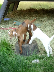 The Kids Playing - May 19/12 (Primespot Photography) Tags: canada kids bc britishcolumbia goat goats fraservalley lowermainland babygoats playingkids playinggoats