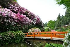 Azaleas at Mimuroto-ji in Kyoto (kyoshiok) Tags: flower temple kyoto azalea mimurotoji ujicity