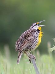 Eastern Meadowlark 20120521 (Kenneth Cole Schneider) Tags: illinois wildlife batavia kanecounty nelsonlake