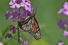 Closed wing Butterfly (Peaceful Nature) Tags: highqualityanimals