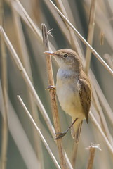 IMG_0084 Reed Warbler (Acrocephalus scirpaceus), Brandon Marsh, Warwickshire 22May12 (Lathers) Tags: brandon warwickshire reedwarbler acrocephalusscirpaceus nbw brandonmarsh canon7d wildinthemidlands wkwt 22may12