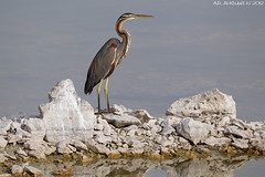 Goliath Heron (arfromqatar) Tags: doha    arfromqatar  abdulrahmanalkhulaifi