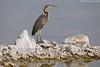 Goliath Heron (arfromqatar) Tags: doha قطر الدوحة عبدالرحمنالخليفي arfromqatar طيورقطر abdulrahmanalkhulaifi البيئةالقطرية