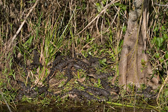 Baby-Gators (Photomatt28) Tags: baby nature animal florida gator wildlife alligator everglades evergladesnationalpark sharkvalley americanalligator babygators glades