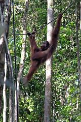 (cjrushphotography) Tags: sarawak borneo kuching orangutang semengoh