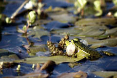 Prince Charming II (jinterwas) Tags: green netherlands groen nederland free frog cc creativecommons sideview kikker croaking hoogerheide freetouse zijkant kwaken kwakendekikker