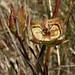 Tiburon Mariposa Lily