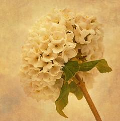 The flower (Master Pedda http://petersamuelsson.se/) Tags: flower texture sweden halland thegalaxy mygearandme ringexcellence