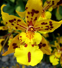 """Surprised!"" Tiger Crow Orchid (Puzzler4879) Tags: orchid yellow orchids botanicalgardens pointshoot nybg canonpowershot newyorkbotanicalgarden canondigital yelloworchid canonaseries floralfantasy canonphotography yelloworchids orchidacaea perfectpetals canonpointshoot flickrbronzeaward flickrsilveraward bloomingbeauty a580 orchidshows canona580 canonpowershota580 powershota580 awesomeblossoms naturegreenstar theflowerbasket amazingdetails addictedtoflower mamasbloomers naturesprime naturescarousel mygearandme mygearandmepremium silveramazingdetails goldamazingdetails level1photographyforrecreation level2photographyforrecreation madaboutflowers"