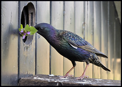 A flower for his breeding lady?? (Jan Visser Renkum) Tags: starling sturnusvulgaris spreeuw