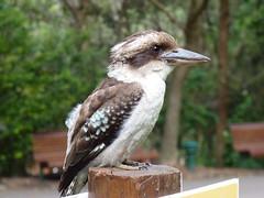 Kookaburra (B Gibbens) Tags: bird australia panasonic nsw newsouthwales animalplanet kookaburra fz38 panasonicfz38 dmcfz38 me2youphotographylevel1 freedomtosoarlevel1birdsonly freedomtosoarlevel3birdsonly freedomtosoarlevel2birdsonly freedomtosoarlevel3