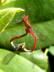 003-L Red Damselfly3 (nolansmanned (Fi to my friends) :@)) Tags: red macro garden insect rhododendron mating damselfly largereddamselfly panasoniclumix dmcfs30