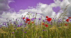 """violet love"" (Kaths Fotografie) Tags: flowers summer sky clouds spring heart sommer meadow violet wolken blumen poppy herz frhling mohn blumenwiese mohnblume cornflowers kornblumen mohnblumen mohnblumenfeld mohnblte colorblobs farbkleckse violetlove kornblumenwiese kornblumenfeld"