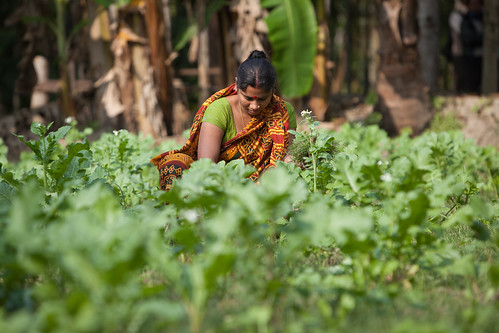 A vegetable garden on the bank of a fish and rice pond being tended to by Benalata Das, Khulna, Bangladesh. Photo by Mike Lusmore/Duckrabbit, 2012.