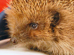 Sonic's Beautiful Face (Jaynie25) Tags: jubilee wildlife queen diamond british hedgehogs