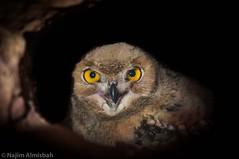 Eagle Owl (Najim J. Almisbah) Tags: kuwait ksa jassim najim   almsbah almisbah  eagleowlsaudiarabistarstarsstartrails