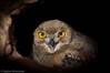 Eagle Owl (Najim J. Almisbah) Tags: kuwait ksa jassim najim فرخ البومة almsbah almisbah النسرية eagleowlsaudiarabistarstarsstartrails