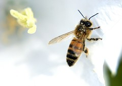 Bee on flower (clive117) Tags: flower insect wings legs bee pollen fbdg mygearandme