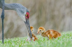 Feeding (Flickrtographer) Tags: wild bird nature birds raw feeding florida crane wildlife beak feathers cranes colt sandhill sandhillcranes wildlifephotographer hatching hatchlings babyanimals wadingbirds backyardbirding cindybryant sigma150500mm sandhillcranecolts nikond7000 backyardbirdphotography photocontesttnc11 birdstnc11 cindybryantphotography photocontesttnc12 flickrtographer photoofthedaynwf12 cindyjbryant photocontesttnc13