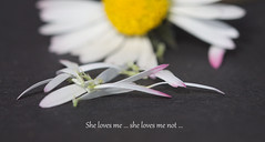 she loves me... (Curl66) Tags: game flower color macro art nature closeup canon garden photography eos one petals text daisy pick deco 1100d