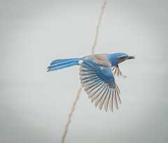 Busy Day's ahead. (Omygodtom) Tags: wild bird nature spring natural bokeh wildlife animalplanet scrubjay d7100 nikon70300mmvrlens