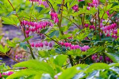 Spring at Hyde Hall (19 of 19).jpg (TomTam1) Tags: flowers england spring fujifilm essex hydehall nikon105mmf25 xt1