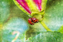 July 2015 Ladybugs on flower. Painted today May 11, 2016. (NancySmith133) Tags: flowers painterly painting photopainting centralfloridausa ladybugsonflower