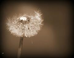 Printemps.... (kate053) Tags: sepia campagne printemps dandelions pissenlit