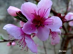 Flor de pessegueiro (verridrio) Tags: pink flower tree planta flora sony flor blumen arvore mondego flordepessegueiro