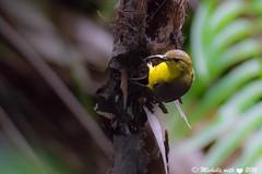 olive-backed sunbird, Singapore (michellexueqi) Tags: bird nest wildlife sunbird birdphotography birdlovers wildlifephotography