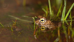 Sapo corredor - Bufo calamita - Natterjack toad (Jose Sousa) Tags: wild naturaleza portugal nature animal animals fauna wildlife natureza natura animales setubal animaux animais arrabida animalia selvagem amphibia vidaselvagem anfibio natterjacktoad sapocorredor bufocalamita