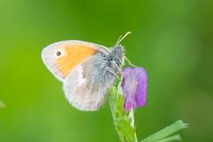 Small Heath Butterfly (abritinquint Natural Photography) Tags: butterfly small heath smallheath nikon d7200 telephoto 300mm pf f4 300mmf4 nikkor teleconvertor tc14eii pfedvr germany luxembourg trier