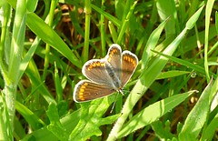 280516 Brown Argus butterfly (postman.pete) Tags: city clouds color concert dance day de dog england europe fall family fashion festival film florida flower flowers food football france friends fun garden germany girl graffiti green halloween hawaii holiday house india iphone island italia italy hwcp colchester essex animal outdoor songbird wild deer lizard common plant bird wren sing blue bell pussy bee lady yellow weed pigeon liz ard texture abstract butterfly worm curve brown argus aricia agestis