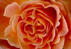 Flower power (christophhornung142) Tags: red orange rot beautiful rose pflanzen blumen rosen ruby blte blhen