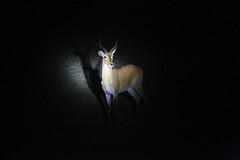 Impala 2 (cj_hunter) Tags: africa game animal animals night dark african wildlife safari ghana antelope impala nightsafari