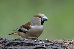 Hawfinch (S.G.Davis) Tags: woodland beak shy elusive hawfinch