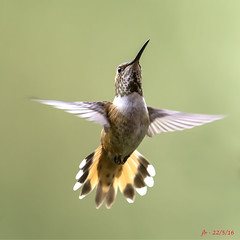 Rufous in flight - In Explore May 23/16 (jbarc in BC) Tags: bird speed wings hummingbird flight hummer rufous aerodynamics greatphotographers