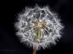 Taraxacum (Mika Laitinen) Tags: flower extensiontube taraxacum kenko ef70200mmf4lisusm canon7dmarkii