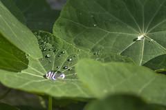 Drops-2 (aliffc3) Tags: leaves artistic pov waterdrops nikkor300mmf4ed nikond750